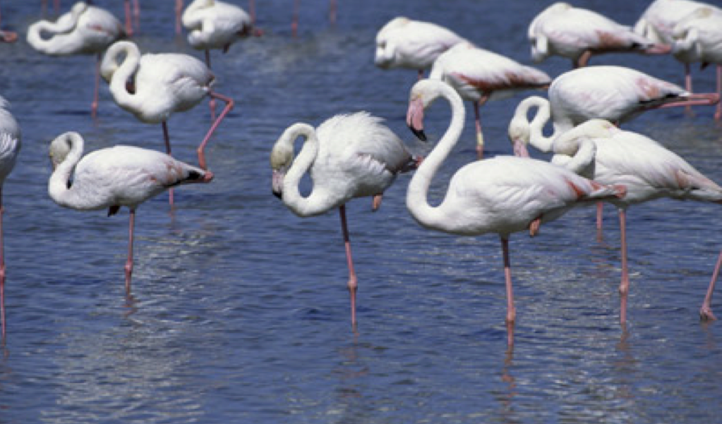 What do flamingos